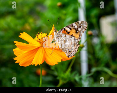 A painted lady butterfly rests on an orange cosmos flower along a field in central Kanagawa Prefecture, Japan. - Stock Photo