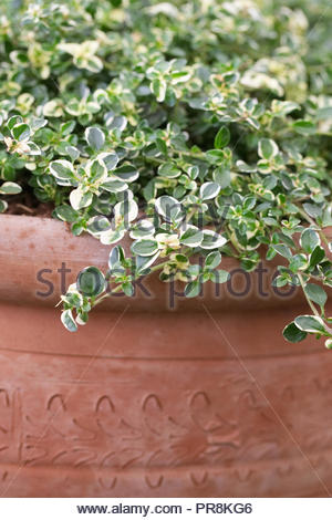 Thymus pulegioides 'Foxley' in a terracotta pot. - Stock Photo