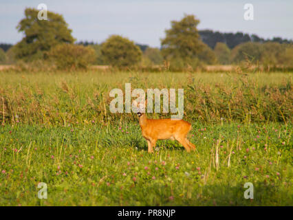 Roe deer buck, Capreolus capreolus, also known as Chevreuil, in a meadow - Stock Photo