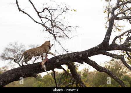 A dominant male leopard drags a fresh bushbuck kill up into a jackal berry tree in the Greater Kruger National Park - Stock Photo