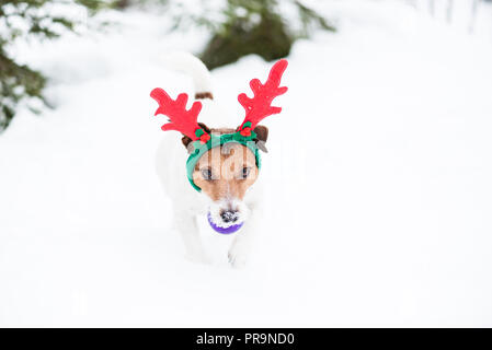 Dog as humorous reindeer fetches Christmas tree ball toy - Stock Photo