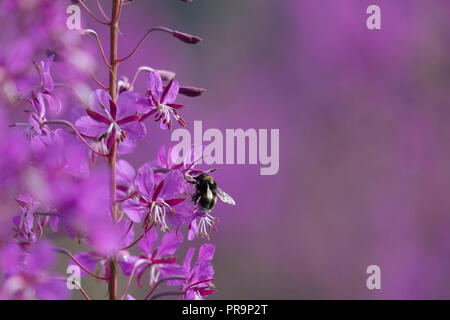 A White-tailed Bumblebee (Bombus Lucorum) Feeding on the Flowers of Rosebay Willowherb (Chamerion Angustifolium) - Stock Photo