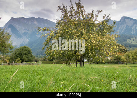 single apple tree in late summer with hundreds of green appples ready for harvest standing in a green grassy wildflower meadow - Stock Photo