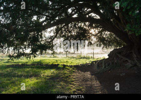 The ancient yew tree at Waverley Abbey in Surrey, UK, on a misty autumn morning - Stock Photo