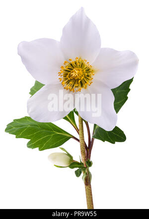 Hellebore flower (Christmas rose) isolated on white - Stock Photo