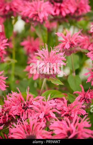 Monarda pink lace, - Stock Photo