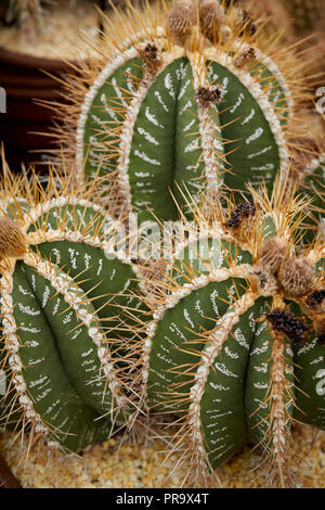 Cactus stand at Tatton Park Flower show - Stock Photo