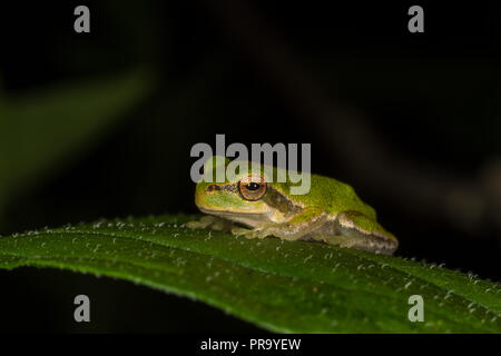 Tyrrhenian Tree Frog. Hyla sarda. Single adult on leaf. Sardinia. Italy - Stock Photo