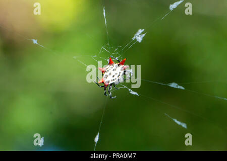 A red and yellow Spinybacked Orbweaver spider (Gasteracantha cancriformis) on its web at the Audubon of Martin County, Stuart, Florida, US - Stock Photo