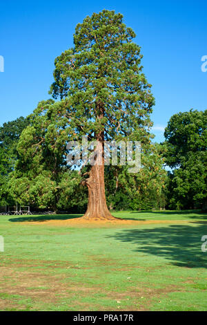 Thuja Plicata. Western Red Cedar Tree on the recreational grounds of Wells Cathedral School in Wells, Somerset, UK. - Stock Photo
