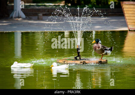 Ducks bathing in a pond - Stock Photo