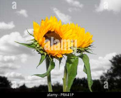 Detailed, colour close up of two upright sunflower stems (bright yellow heads & green leaves) against monochrome sky background with fluffy clouds. - Stock Photo