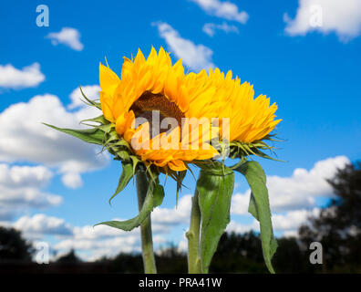 Detailed landscape close up of two upright sunflower stems (bright yellow heads & green leaves) against deep blue sky & fluffy clouds in background. - Stock Photo