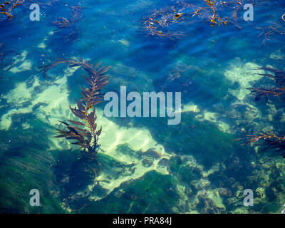 Floating seaweed in shallow seabed in sunny tropical location - Stock Photo