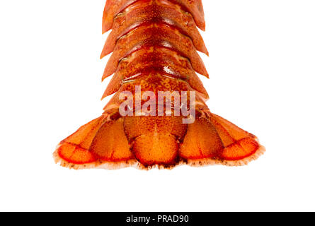 Tail of live crayfish closeup on white background - Stock Photo