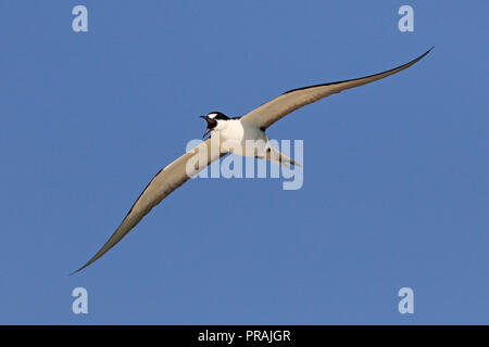 Adult Sooty Tern in flight and calling at Michaelmas Cay Great Barrier reef Far North Queensland Australia - Stock Photo