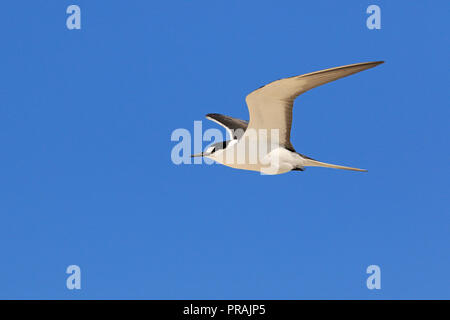 Adult Sooty Tern at Michaelmas Cay Great Barrier reef Far North Queensland Australia - Stock Photo