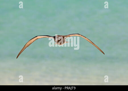 Juvenile Sooty Tern at Michaelmas Cay Great Barrier reef Far North Queensland Australia - Stock Photo