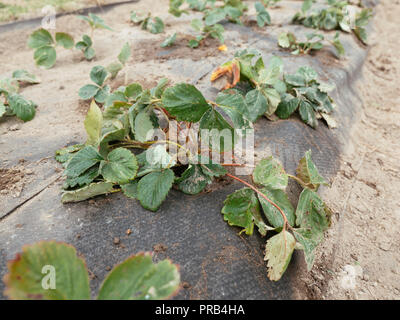 Strawberries planted in a hill system with 3 rows, covered with a biodegradable and compostable weed suppression fabric. - Stock Photo