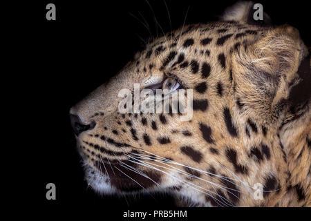 Male Amur leopard (profile) - Stock Photo