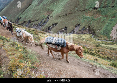 Horses going up the valley between Lingshi and Nyile La, Thimphu District, Snowman Trek, Bhutan - Stock Photo
