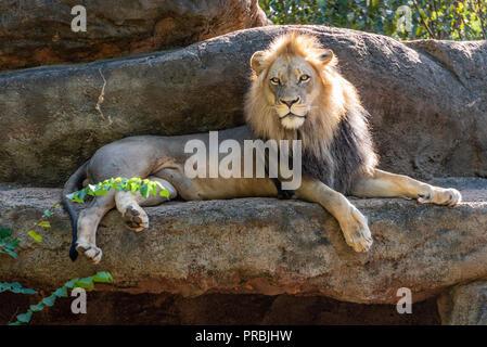 African lion (Panthera leo) at Zoo Atlanta in Atlanta, Georgia. (USA) - Stock Photo