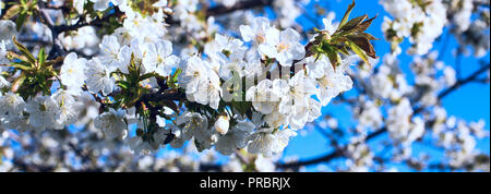 The branch of apple flower blossom on the background of blue sky. - Stock Photo