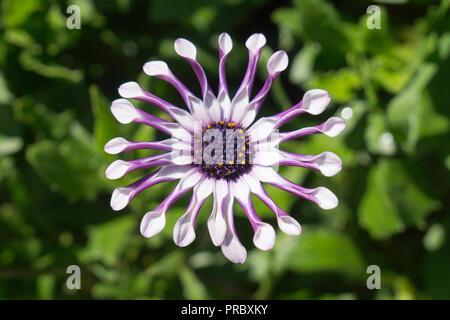 A white and purple Osteospermum Whirligig daisy, daisybush, African daisy, Cape daisy, on green back ground - Stock Photo