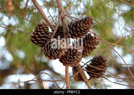Dry fully open brown Pine cones or Cones or Conifer cones on multiple branches with small dried pine needles on them still hanging from tree and green - Stock Photo