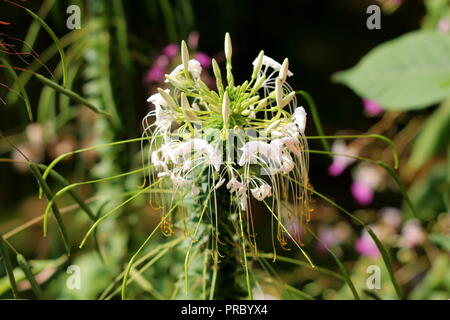 Spider flower or Cleome hassleriana annual flowering plant with closed white flowers and stamens starting to wither on dark green leaves background - Stock Photo