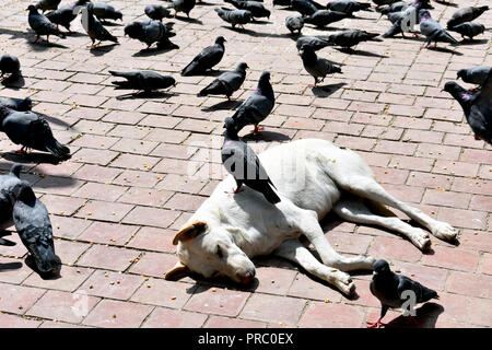 Pigeon on a Dog - Stock Photo