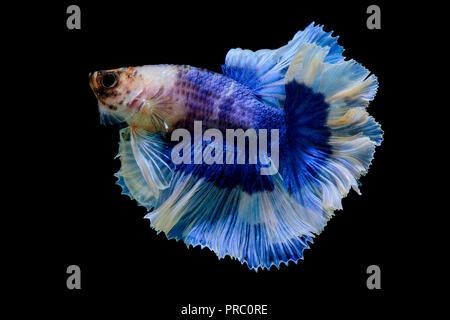 Betta fish in black background - Stock Photo