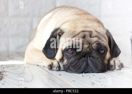 Sad pug dog with big eyes lying on the wooden floor - Stock Photo