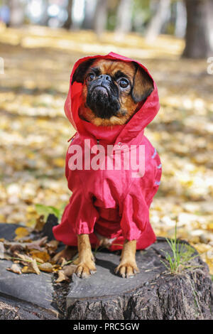Dog small brabanson with chestnut color wearing in red overall at autumn park - Stock Photo