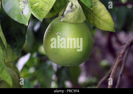 Citrus paradisi pompelmo pampelmuse grapefruitb - Stock Photo