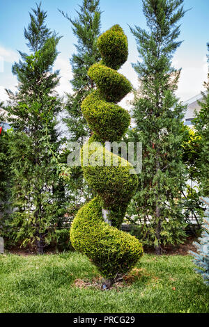 Evergreen aborvitae thuya tree trimmed in a decorative spiral shape in a garden - Stock Photo
