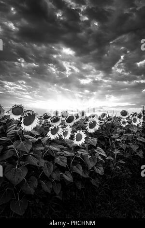 Sunflower field at sunset in Italy, Black and white vertical version - Stock Photo