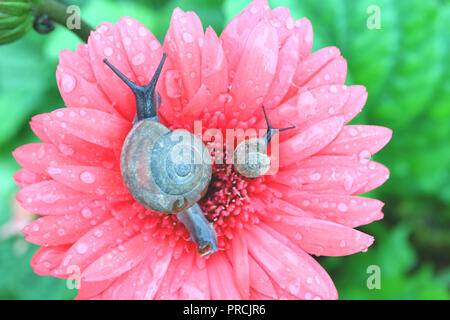 Top view of mother snail and baby snail relaxing together on a pink blooming Gerbera flower with many water droplets on the petals - Stock Photo