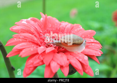 One little snail relaxing on vibrant pink blooming Gerbera flower with many water droplets after the rain - Stock Photo