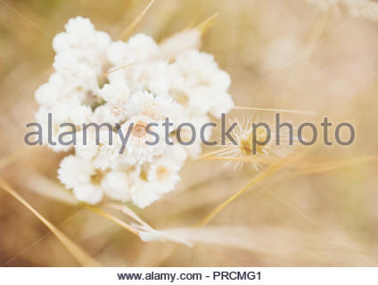 Warm breezy day near the coast of Point Reyes National Seashore - wildflowers and soft backdrop as copy space. - Stock Photo
