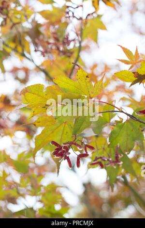 Close up of an Acer Palmatum Bloodgood (Japanese Maple) tree in autumn, at Alton Baker park in Eugene, Oregon, USA. - Stock Photo