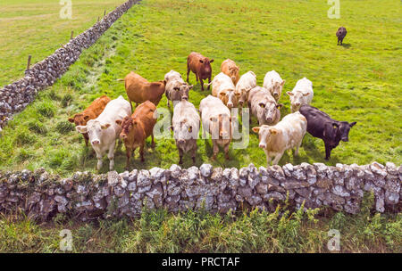 An aerial view of a small herd of inquisitive cows in a meadow near Lough Corrib in County Galway, Ireland. - Stock Photo