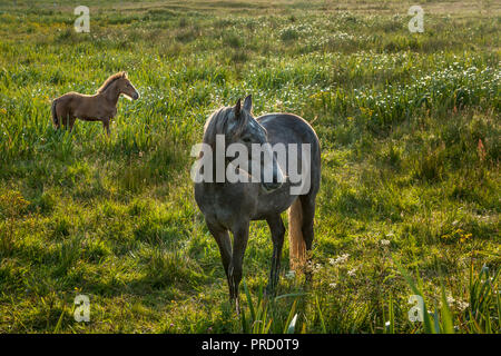 Mayo, Ireland. 27th July, 2007. A mare with her foal in Co. Mayo, Ireland. - Stock Photo