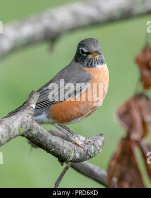 An American robin, Turdus migratorius, perches on a branch. - Stock Photo