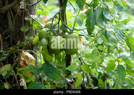Moneymaker green tomatoes growing on a plant in rural garden and not ripening in late September weather in Carmarthenshire West Wales UK  KATHY DEWITT - Stock Photo