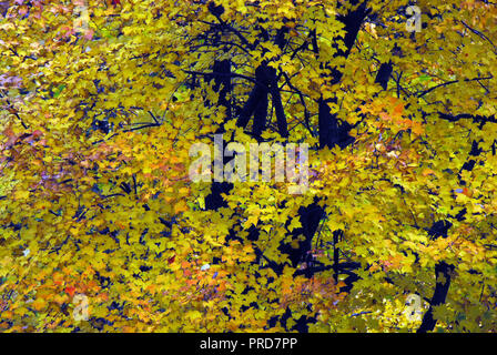 Shooting directly into a riot of fall colors in the Maple trees of Simsbury, Connecticut, USA - Stock Photo