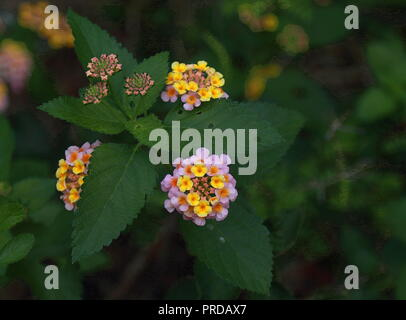 Lantana camara. Beautiful small flowers tickberry and green leaves. - Stock Photo