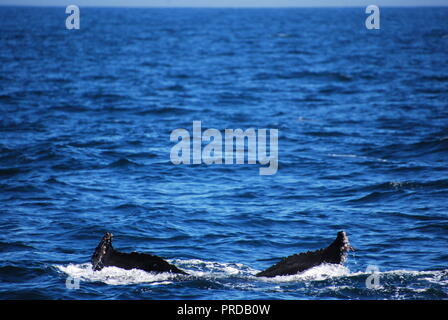 A humpback whale tail disappears into the ocean in the Pacific Ocean, just past the continental shelf off the coast of San Francisco. - Stock Photo