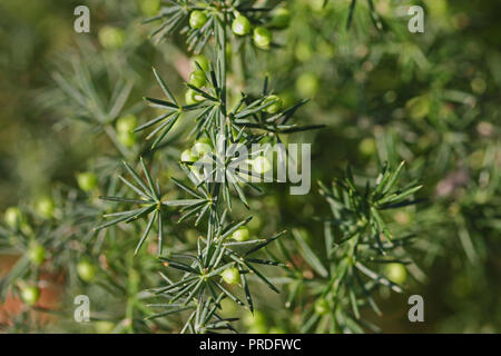 wild asparagus or sparrow grass buds about to flower in late summer in Italy a very thorny edible plant Latin asparagus acutifolius - Stock Photo