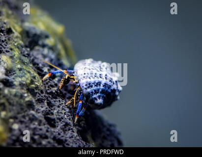 Hermit crab in brackish tank - Stock Photo
